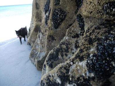 Dog and barnacles on Irish island.
