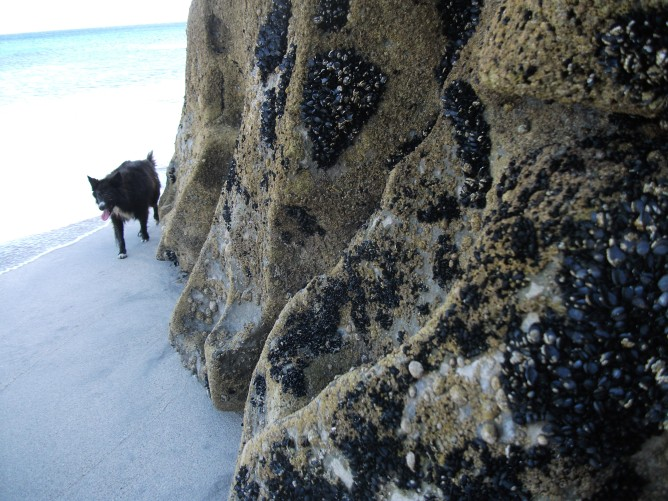 Dog and barnacles on Irish island.