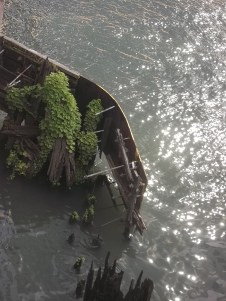 Green growing on rotting wood. Chicago River.
